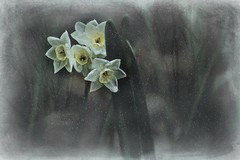 Near Silence (Christina's World!) Tags: paperwhites flowers white yellow leaves textures snow mutedcolors artistic trees background digitalart exoticimage flower fragile garden green impressionism impressionistic december california creative kurtpeiser nature outdoors painterly plants sandiego unitedstates vegetation woods weather