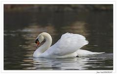 Sur les bords de l'Ill ... : sur l'eau le Cygne fait le beau. (C. OTTIE et J-Y KERMORVANT) Tags: nature animaux oiseaux cygne cygnetuberculé cygnemuet alsace france