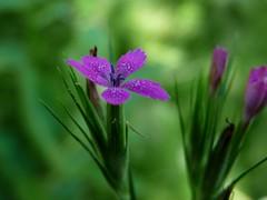 Deptford Pink (jmunt) Tags: wildflower flower dianthusarmeria pink deptfordpink
