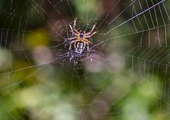 _MG_0112_1 (Nevil di Malta) Tags: spider ragno ragnatela bruco verde spine