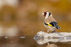 Chardonneret élégant Carduelis carduelis - European Goldfinch (Julien Ruiz) Tags: chardonneret élégant carduelis european goldfinch canon ef 600mm f4 l is iii
