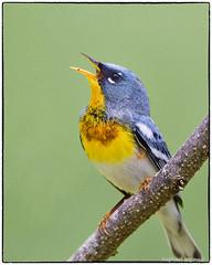 I WANT SPRING!! (RKop) Tags: parula warbler huestonwoodspark ohio raphaelkopanphotography d500 600mmf4evr nikon warblers