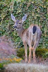 Black-tailed Deer (Neal D) Tags: bc abbotsford deer blacktaileddeer