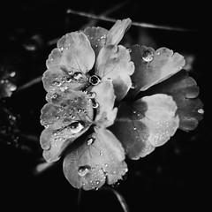 Tropfen auf den Blättern, droplets on the leaves (fritz polesny) Tags: panasonic 45200mm blackwhite