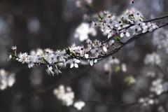 色は匂へど 散りぬるを     H. ROUSSEL INGENIEUR OPTICIEN    F 8 (情事針寸II) Tags: ngc bokeh oldlens nature fleur flower 自然 花 prune 李 スモモ hrousselingenieuropticienf8