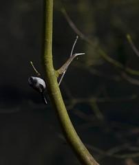 Long-tailed tit hanging out (simon edge) Tags: nikon d5100 55300mm longtailedtit bird