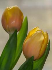 Tulips-F3300326 (tony.rummery) Tags: closeup em5mkii flower mft microfourthirds omd olympus tulip yellow guildford england unitedkingdom gb