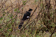 Leveillants Cuckoo, Satara, Kruger National Park, Jan 2019 (roelofvdb) Tags: 2019 381 cuckoo cuckoolevaillants date january knp levaillantscuckoo place satara southernafricanbirds year