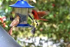 _DSC0932 (Paul_1961) Tags: cardinal goldfinch northwest florida wildlife nature panhandle nikon d7200 sigma 120400mm birds