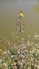 Flor amarilla. (orionqazar_149) Tags: naturaleza parque fotgrafia tumblr noche dia bonito verde cielo azul arboles luz flores pasto arte
