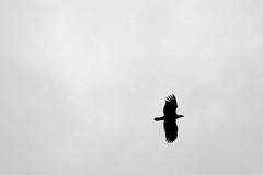 411Eagle2 (GrfxDziner) Tags: american bald eagle haliaeetus leucocephalus adult flight soar grfxdziner dc kerimccarthydrive gwennie2006 dcmemorialfoundation canon rebel t6 rebelt6 eos efs 75300mm