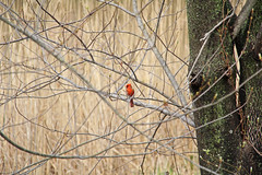 IMG_2976 (Jeffrey Terranova) Tags: canon rebelt6 avenel nj newjersey backyard wildlife cardinal