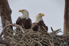 Bald Eagles (TomLamb47) Tags: nature wildlife bird baea bald eagle nest tree pair fruitland park florida fl canon 1d4 500mm