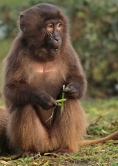 Gelada Blijdorp 094A0611 (j.a.kok) Tags: animal africa afrika aap mammal monkey primate primaat baboon baviaan roodborstbaviaan gelada zoogdier dier blijdorp