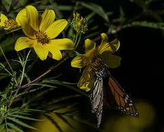 MonarchButterfly_SAF5840-2 (sara97) Tags: danausplexippus butterfly copyright©2018saraannefinke flowers insect missouri monarch monarchbutterfly nature photobysaraannefinke pollinator saintlouis towergrovepark urbanpark