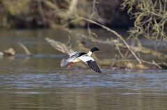 harle bièvre_A9A3718 (Bernard Fabbro) Tags: harle bièvre goosander oiseau bird