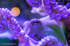 Eye See You (DJ. Photography) Tags: octopus eye see you purple suction cups