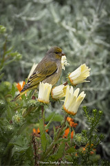 Cape Canary   (Serinus canicollis) (Hernan Linetzky Mc-Manus) Tags: capetown southafrica wild linetzky ciudaddelcabo