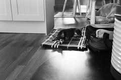 Puh geschafft für heute🐾🐾 (desireeskorzec) Tags: hund rehpincher