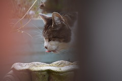 Thirsty Cat (Mikon Walters) Tags: kitten kitty meow drinking drink thirsty blep tongue fur furry fluffy zoom lens photography nikon d5600 nikkor 18300mm outdoors garden fountain creature animal animals nature
