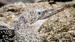 Attentive (Stefan Marks) Tags: animal australasiangannet bird closeup feather gannet head juvenile looking morusserrator nature outdoor aucklandwaitakere northisland newzealand