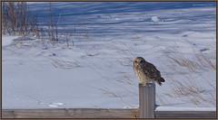 ShortearedOwl_6D_2780 (CrzyCnuk) Tags: shortearedowl owl alberta canon canon6d wildlife seo