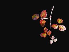 SANT MATÍ DE LLÉMENA - FULLAS (Joan Biarnés) Tags: santmartídellémena gironès 299 panasonicfz1000 macro fullas hojas