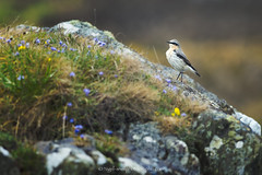 DSC_9412-2 (nigelsnell) Tags: ballymacormickpoint countydown groomsport northernireland photoraw wheatearnorthernoeantheoeanthe bird birds ononesoftware