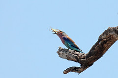 Lilac-breasted Roller (Coracias caudatus) Вилохвостая сизоворонка (Mikhail & Yana) Tags: lilacbreastedroller coraciascaudatus вилохвостаясизоворонка bird nature wildlife krugernationalpark birdsofsouthafrica