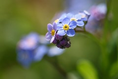 Forget-Me-Not      Hermagis Paris Anastigmat  Major  1:4.5  F 105m/m (情事針寸II) Tags: マクロ撮影 花 自然 nature triplet oldlens bokeh macro fleur flower 勿忘草 myosotis forgetmenot hermagisparisanastigmatmajor145f105mm