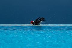Refreshing Splash (Daren Grilley) Tags: tanager paroariacapitata island tropical paradise bigisland hawaii birds bird
