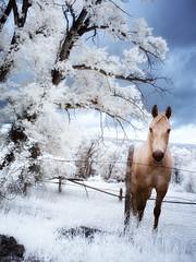 curiosity (greg westfall.) Tags: gregwestfall infrared 720nm wyoming horse ir mountains sky