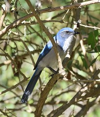 California Scrub Jay #2 (MJ Harbey) Tags: bird jay scrubjay californiascrubjay aphelocomacalifornica animalia aves passeriformes corvidae pacificgrove usa california monterey nikon d3300 nikond3300 trees branches