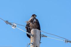 Young Eagle on a Telephone Pole (AphidmanCalgary) Tags: calgary alberta canada ca eagle bird