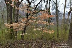 Beech beauty (lauren3838 photography) Tags: laurensphotography lauren3838photography landscape leaves tree forest nature ilovenature nikon d750 georgia atlanta beech color tourism tamron tamron2875mm28