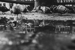 something in the water (Zesk MF) Tags: bw black white taube bird street cologne zesk x100f fuji mono dove animal water puddle reflection spiegelung vögel