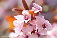 Look at me! (Elisafox22) Tags: elisafox22 sony ilca77m2 100mmf28 macro macrolens telemacro lens hmm macromondays lookup sunshine plumblossom plum leaf japaneseplum pink spring bokeh outdoors elisaliddell©2019