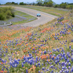 Bluebonnets along a stretch of Highway 71 thumbnail