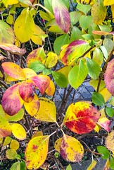 Hydrangea in autumn leaf color - Stock image (DigiPub) Tags: 1087979198 istock 1087979198291886095 291886095 2018 autumnleafcolor beauty beautyinnature bush change closeup colorimage colors december falling freshness gardening greencolor hydrangea japan kanagawaprefecture leaf multicolored nature nopeople outdoors partof photography plant red season takenonmobiledevice vertical yellow yokohama