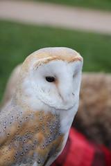 IMG_5503 (Jeff And) Tags: owl barnowl bird birdsofprey hunting