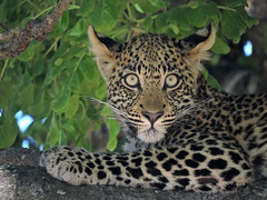 Young Leopard in a Tree (BaliDave2) Tags: botswana wildlife leopard africa 2018