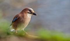 Jay (Alan McCluskie) Tags: jay corvids garrulusglandarus woods trees coatewater birdsinswindon nature wildlife birds