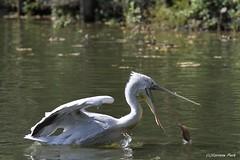 Pélican frisé (Passion Animaux & Photos) Tags: pelican frise dalmatianpelican parc animalier saintecroix