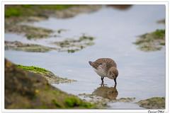 Jours de grève : le Bécasseau variable. (C. OTTIE et J-Y KERMORVANT) Tags: nature animaux oiseaux limicoles bécasseau bécasseauvariable finistère paysbigouden bretagne france