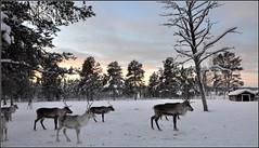 Torassieppi, la ferme des rennes ! (Save planet Earth !) Tags: finland laponie renne animal nikon amcc winter hiver