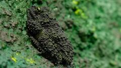 Vietnamesischer Moosfrosch (Sanseira) Tags: zoo augsburg 2019 tiere tropenhalle moosfrosch vietnam tarnfarbe tarnung