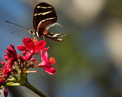 Tattered and Torn (ACEZandEIGHTZ) Tags: nikon d3200 jatropha flower zebra longwing butterfly striped black bokeh insect flying wings heliconius charithonia closeup coth coth5 sunrays5