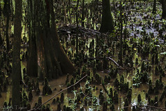Dagobah (*Ranger*) Tags: nikond3300 cypress knees swamp forest water green tennessee pinsonmoundsstatearchaeologicalpark