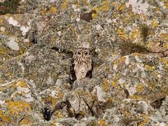 IMG_0695 (fields john) Tags: short eared owl dublin ireland january winter