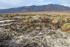1107 Salty residue on the valley floor in Death Valley, where only the hardy Pickleweed can grow (_JFR_) Tags: camping hiking deathvalley deathvalleynationalpark westsideroad pickleweed salt